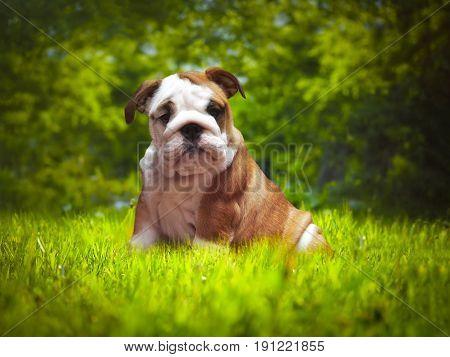 Beautiful dog in the green grass. Three-month English bulldog puppy. Portrait