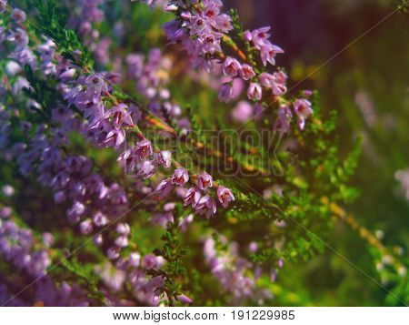 Common heathers blooming on a meadow in sunlight