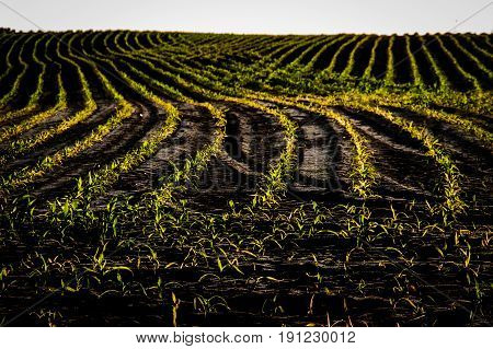 Field of young corn in the sun. Maize planted in rows on the field.