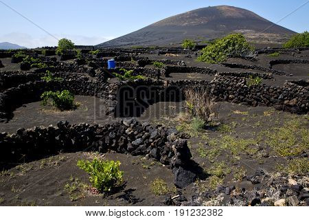 Grapes Wall Crops Viticulture  Winery Lanzarote Spain