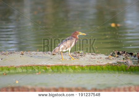 Javan Pond Heron bird standing on the big lotus leaf in lake or pond.