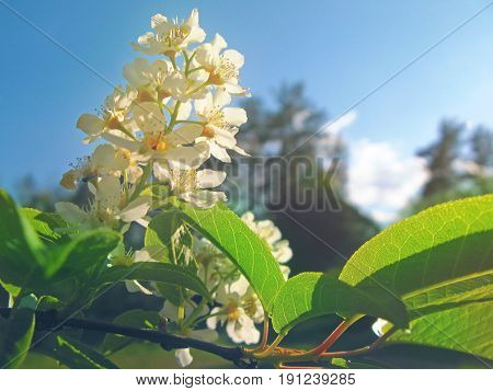 White bird cherry tree flowers in sunligh