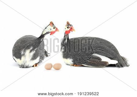 Guinea fowls (Numida meleagris)  and eggs isolated on a white background, studio shot