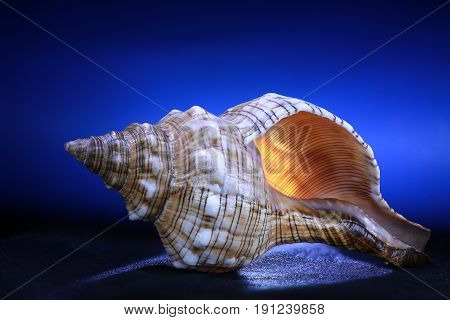 the sea cockleshell on a blue background