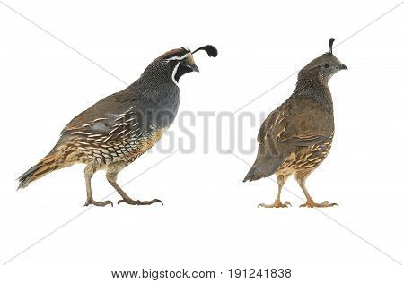 California Quail male and female on a white background