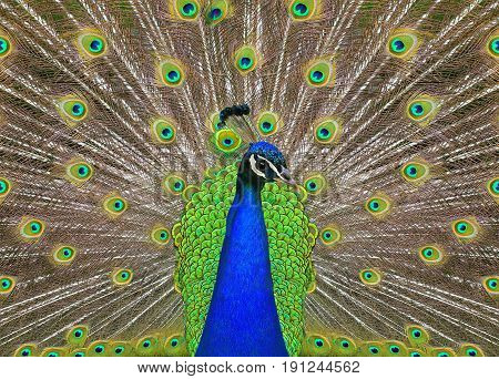 the a peacock with the spread tail