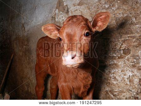 the a little bull-calf on a farm