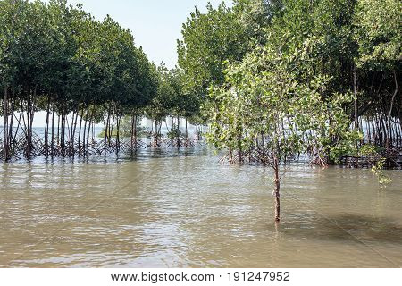 Green Mangrove forest tree at sea beach.