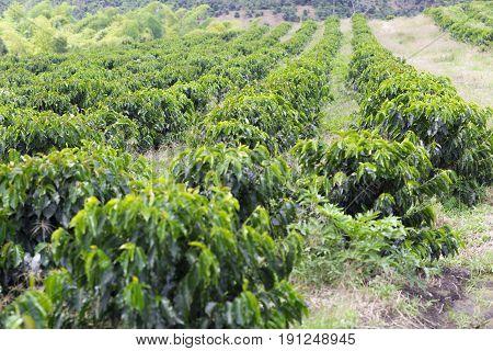 Organic Coffee Farm