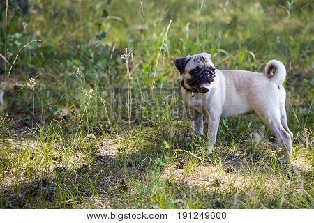 Dog breeds a pug for a walk. Pug stands on the green grass outdoors close-up.