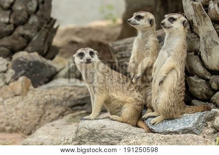 Family of Slender-Tailed Meerkats (Suricata suricatta) standing and looking for something.