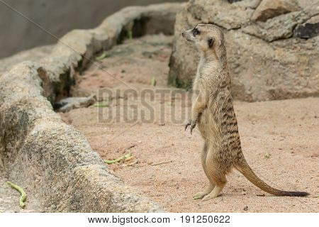 Single or alone Slender-Tailed Meerkats (Suricata suricatta) standing and looking for something.
