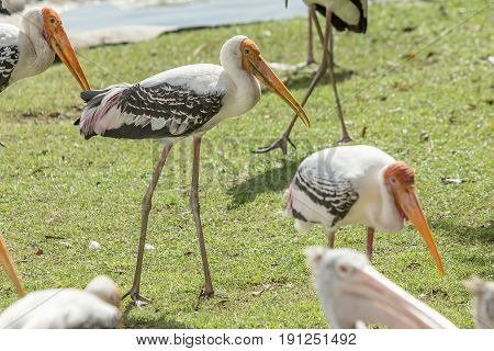 Group of many Kabbaw bird standing on ground.