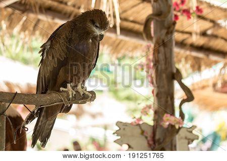 Black Hawk Bird standding on wood branch.