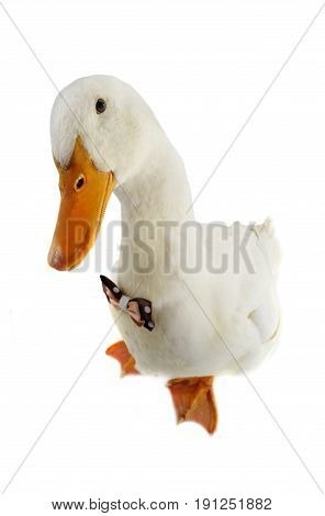 Duck with a bowtie isolated on a white background