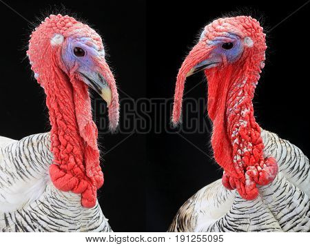 portraits of turkey-cocks gray on a black background (high-resolution images)