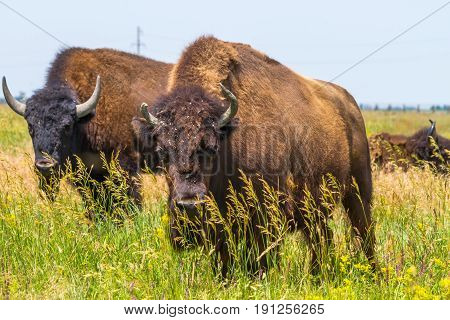 In Savannah, Steppe, Prairie A Herd Of Bison Is Grazed.