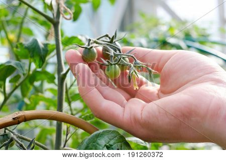 Caucasian Farmer Checking Tomato Plants In Greenhouse. Quality Control of Harvest