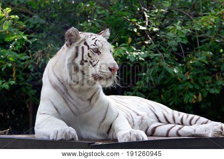 White tiger on the green trees brunch background. Beautiful animal photo.
