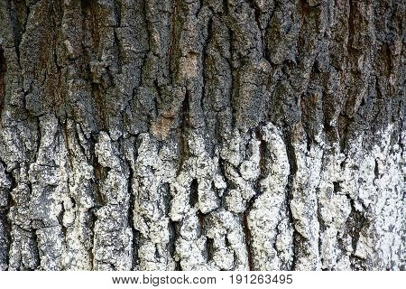 White gray texture of a bark of a big tree