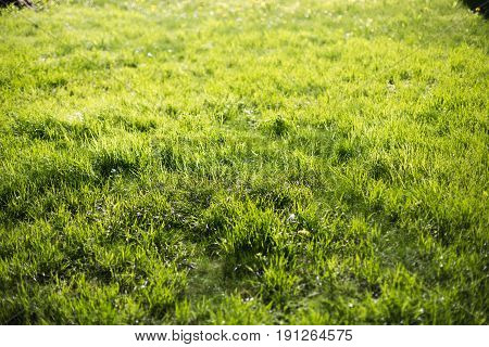 Spring green lawn in the morning sun