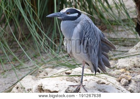 Yellow crowned night heron standing on a white sandy beach on one leg.