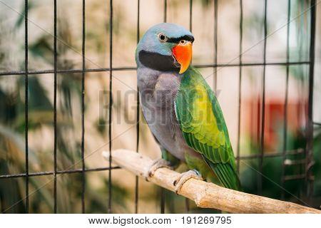 Lord Derby's Parakeet Or Psittacula Derbiana, Also Known As Derbyan Parakeet. Wild Bird In Cage.