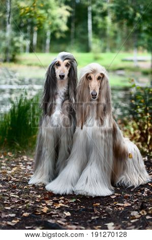 Portrait Of Two Afghan Greyhounds, Beautiful, Dog Show Appearance.
