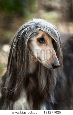 A Portrait Of A Dog, An Afghan Greyhound. The Dog Is Like A Man.