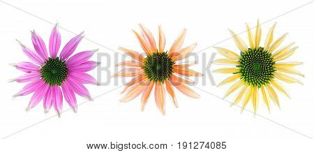 Set of flowers with different colors - coneflower with different colors on white background