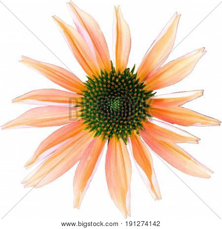 Orange-colored coneflower - The flower of summer on white background