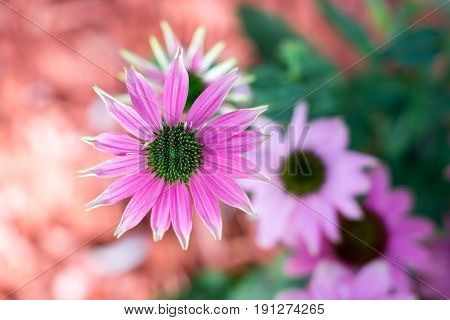 Pink-colored coneflower - The flower of the summer