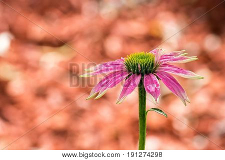 Pink colored coneflower after a summer rain - Focus Stacking