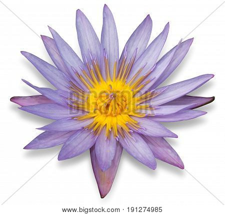 Purple Lotus Flower Isolated On White Background