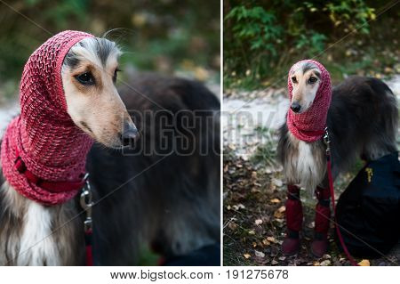 A Portrait Of A Dog, An Afghan Greyhound, A Diptych.