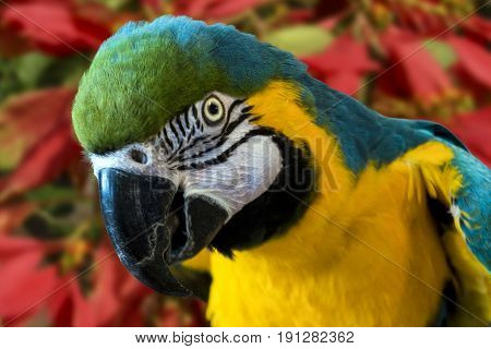 A colorful profile head portrait of a blue and gold macaw parrot (ara ararauna)