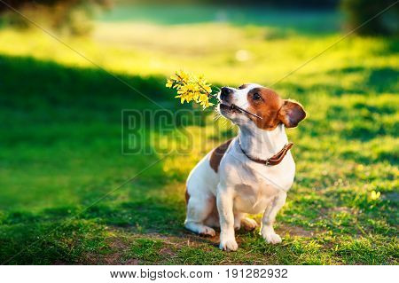 jack russel On the green lawn With a branch of yellow flowers in the teeth. Jack Russell Terrier playing outside smiles