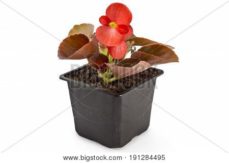 Red young garden wax begonia flowers with leaves, Begonia semperflorens-cultorum, in flowerpot on white background