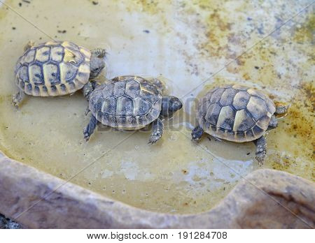 three babies turtles hermann in a drinking trough