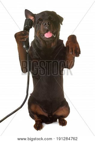 rottweiler and phone up in front of white background