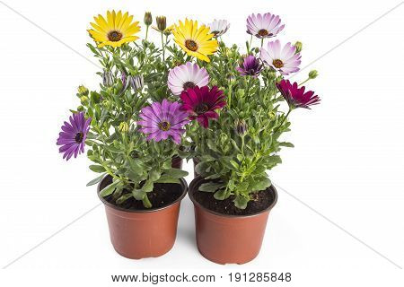 Colorful bouquet of young garden African Daisy flowers with leaves, Osteospermum Symphony, in flowerpot on white background