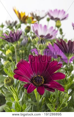Closeup of colorful young garden African Daisy flowers with leaves, Osteospermum Symphony, in flowerpot on white background