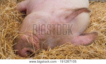 Young happy pig on hay and straw at pig show