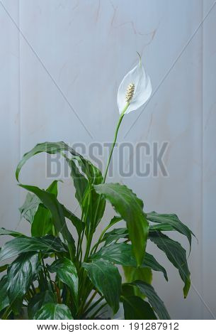 Beautiful white flowers and green leaves of tropical flower spathiphyllum on a light background.