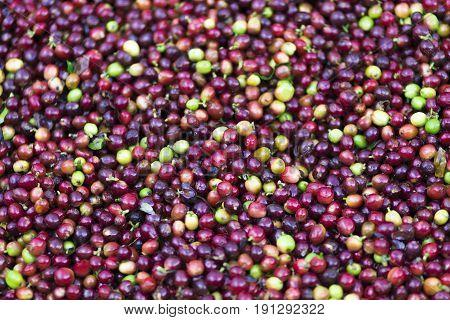 Red Bean Coffee Beans