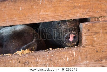 Big Pigs In A Barn On The Farm