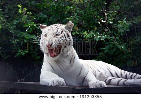 Wicked tiger white tiger on the green trees brunch background. Beautiful animal photo.