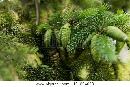 Small Green Fir Cones On A Pine Tree