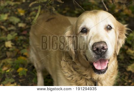 Happy dog labrador retriever sand color looking into the lens