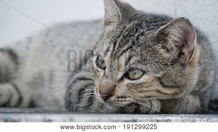 Gray cat lying with head looking to the left, with body blurred Close up shot of head of a lovely gray cat lying down with his head inclined one direction, with body blurred